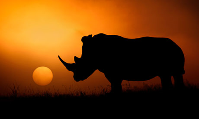 A rhino in Kruger national park, South Africa, where poaching is escalating. Photo: Mario Moreno / Barcroft Media
