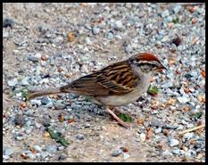 01d - birds - chirping sparrow