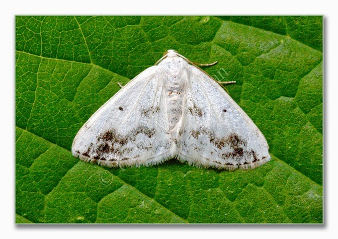 Day Moth 11  Clouded Silver