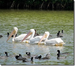 White Pelicans and Coots on Eco Pond