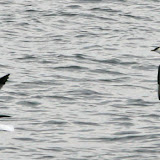 Parasitic jaeger pursuing a laughing gull
