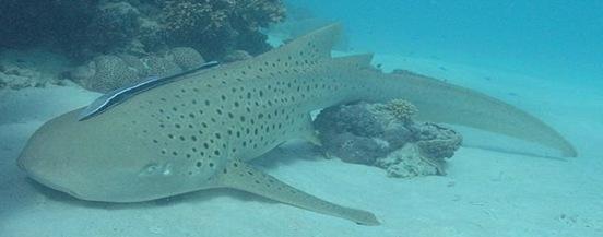 stegostoma-tiger-shark1