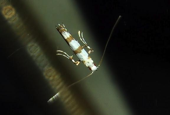 Probablement : Gracillariidae : Gracillariinae : Acrocercops autadelpha MEYRICK, 1880. Umina Beach (NSW, Australie), 25 avril 2011. Photo : Barbara Kedzierski