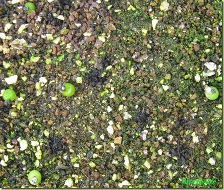 Ariocarpus furfuraceus Matehuala - SLP-2011-02-11_00016IMG_5634