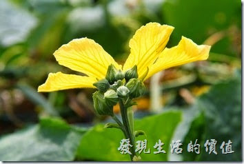 南投日月潭-菜瓜(雄株)