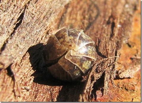 20120405 Armadillidium vulgare