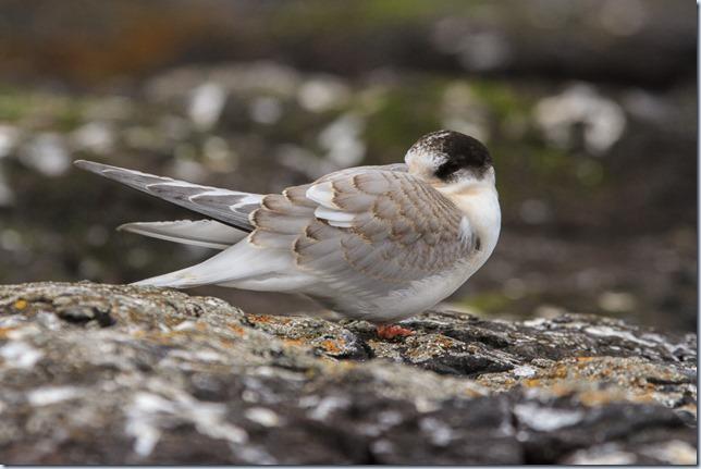 Farnes_Arctic_Terns-3