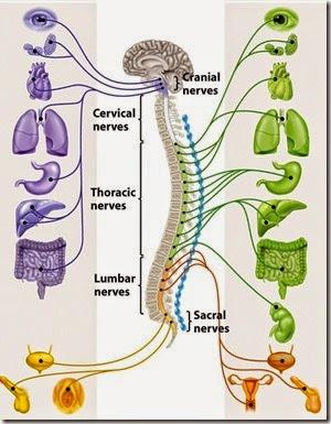 parasympathetic and symapathetic nerve