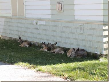 31.Deer in town