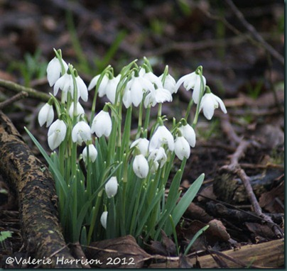 5 snowdrops