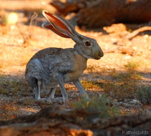 1. antelope JR_0188-kab