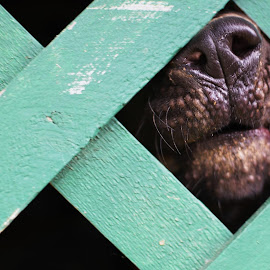 Nosey  by Penny Perticone - Animals - Dogs Portraits (  )