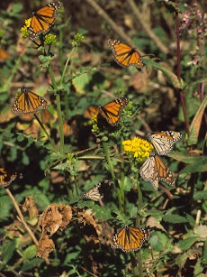 2004 March Mariposa Monarca Michoacan0016.jpg