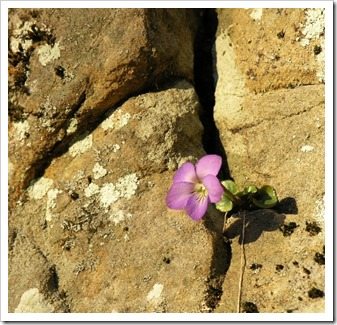 FloweronRock
