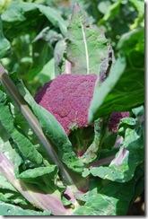 Brócolos roxos  DSC_0472DSC_048210