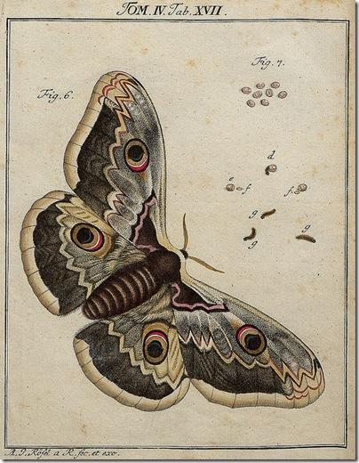 Classis II Papilionum Noctornum (Bomcyx gini) V.1