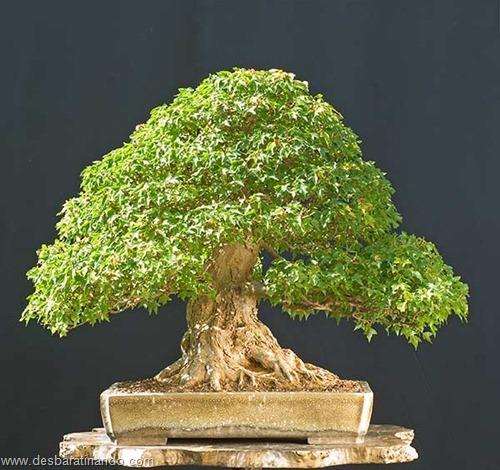 bonsais arvores em miniatura desbaratinando (87)