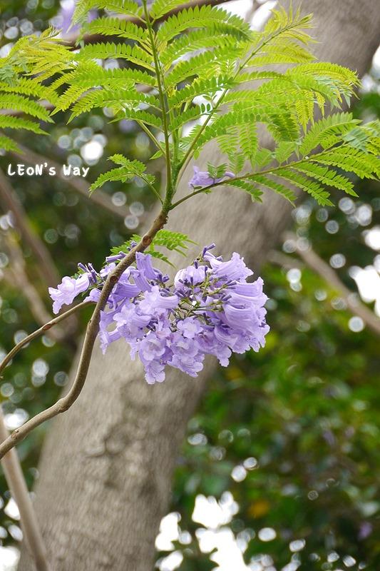 2013_0404 藍花楹_018