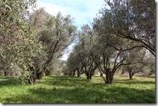 Des oliviers dits millénaires sur la fiche mais nous pensons plutôt centenaires.