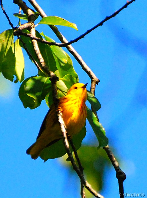 14. yellow warbler-kab