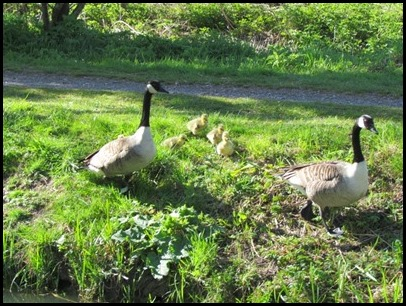 8 Goslings first