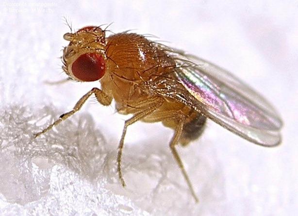 mosca de la fruta 2