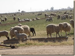 CasaGrande=Sheep (4)