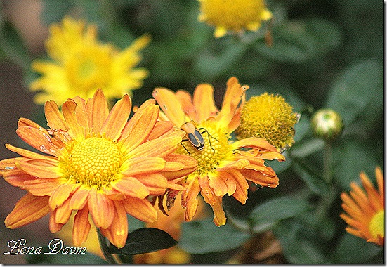 Chrysanthemums_Copper_Bug