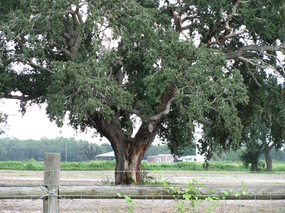 TREES 009