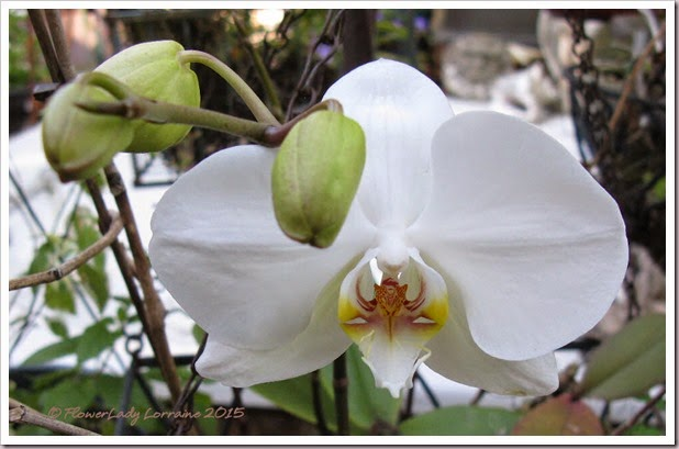02-03-nancis-orchid