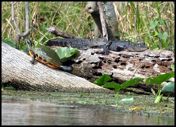 08 - Animals - Alligator 2c - baby