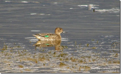 Female Green Wing Teal