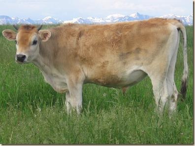 Cow 094