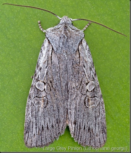 9913 Large Grey Pinion (Lithophane georgii)_2