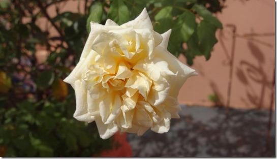 flor-flores-rosas-imagens1140