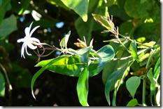 Melati (Jasminum laurifolium)