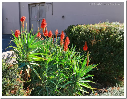 140201_UCD_Aloe-arborescens_001