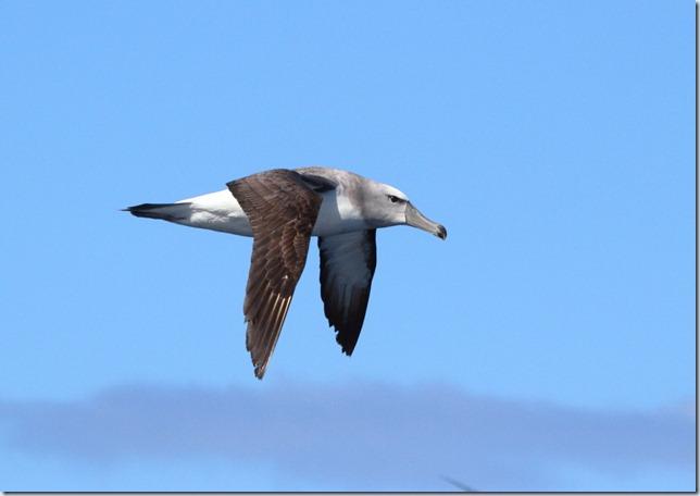 shy_albatross1