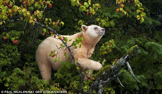 The animal, also known as the Kermode bear, lives amongst the dense green forests of British Columbia