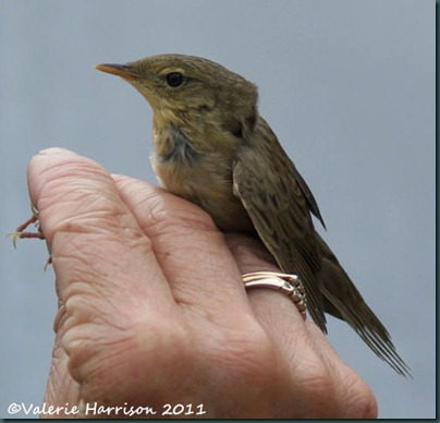 1 grasshopper-warbler-5