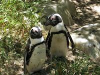 Penguins on Boulders Beach - Cape Peninsula, South Africa