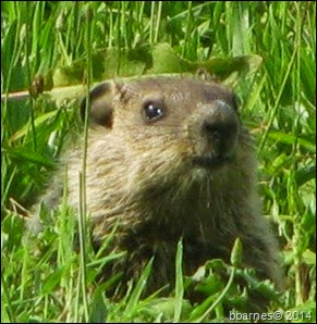 Groundhog face