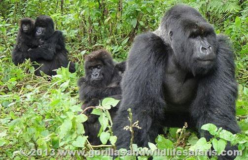 mountain-gorilla-silverback-male-silverback
