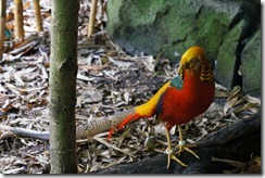 Golden Pheasant, Taronga Zoo