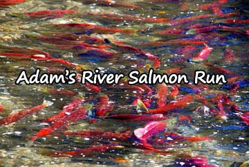 adams-river-salmon-run
