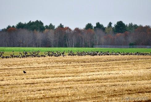 11. geese-kab