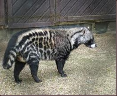 Amazing Pictures of Animals, photo, Nature exotic, funny, incredibel, Zoo, African civet, mammals, Alex (12)