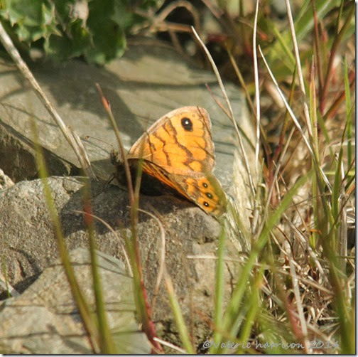 20-wall-butterfly