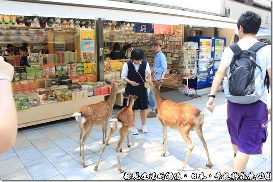 奈良梅花鹿公園,總覺得這裡的梅花鹿還蠻自制的,牠們都不會去偷吃商店裡面的食物,只會搶食手上拿著「鹿仙貝」的遊客,真的是出生在日本的梅花鹿。