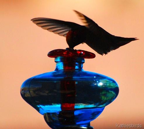 2. Anna's Hummingbird-kab
